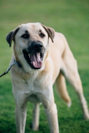 יוני החתיך, רועה טורקי שמחכה לאימוץ בכלביית הרצליה
