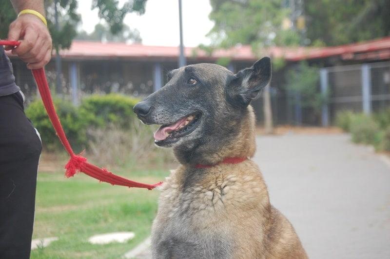 רופרס המתוק ממתין לאימוץ בכלביית נתניה