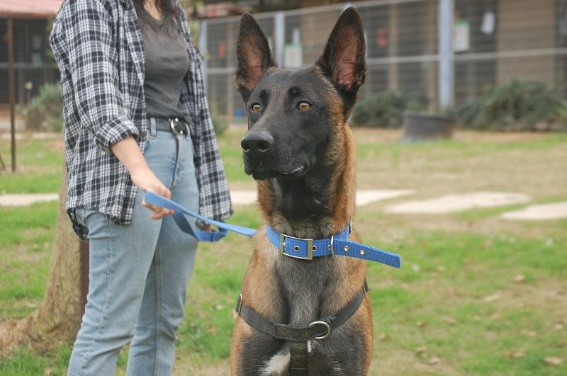 אלפא מלינואה ממתין לאימוץ בכלביית נתניה