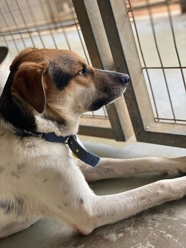 זיני רועה כנעני מעורב ממתין לאימוץ בכלביית נתניה