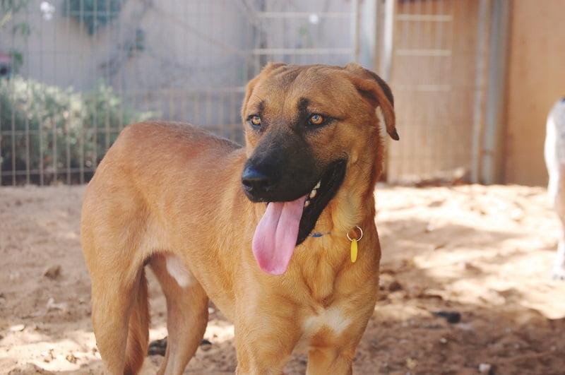ליאו כלב מעורב ממתין לאימוץ בכלביית נתניה