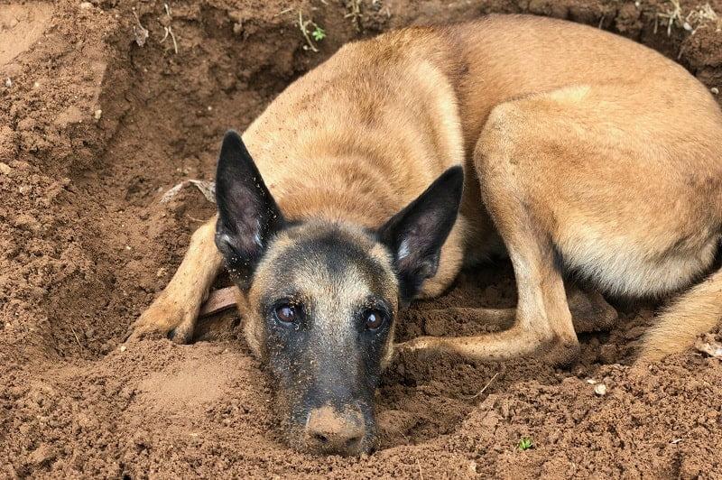ניל כלב רועה בלגי מעורב לאימוץ מכלביית הרצליה