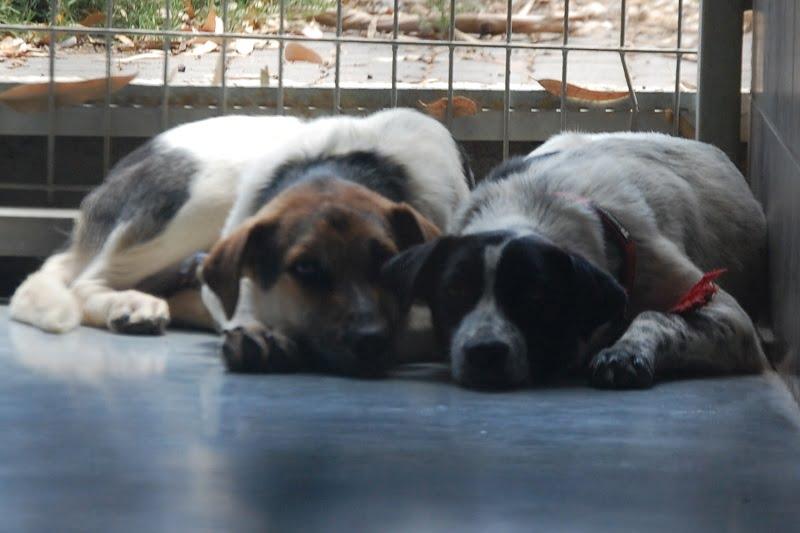 סרי המקסים ממתין לאימוץ בכלביית נתניה
